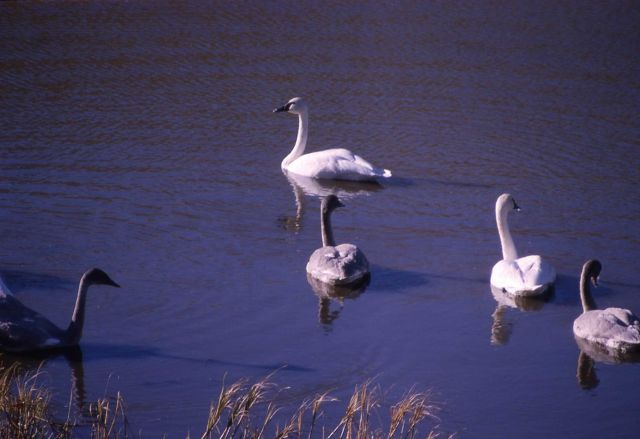 Trumpeter swan pair & three immatures Picture
