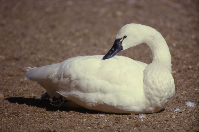 Whistling swan adult Picture