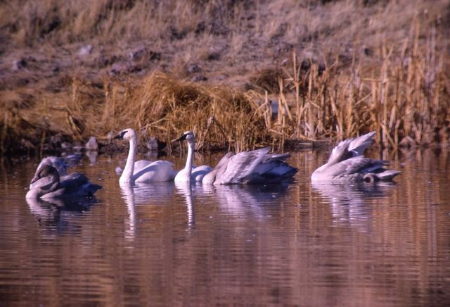 Trumpeter swan pair & three cygnets Picture