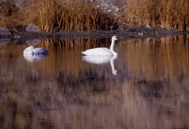 Trumpeter swan adult & cygnet Picture