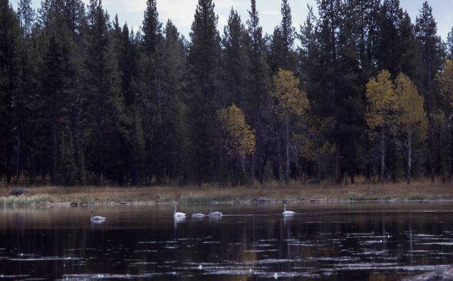 Trumpeter swan pair & three cygnets near Bunsen Peak Road Picture