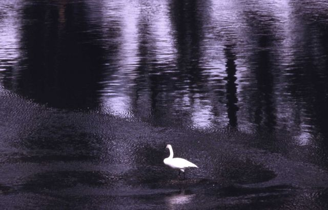 Trumpeter swan adult Picture