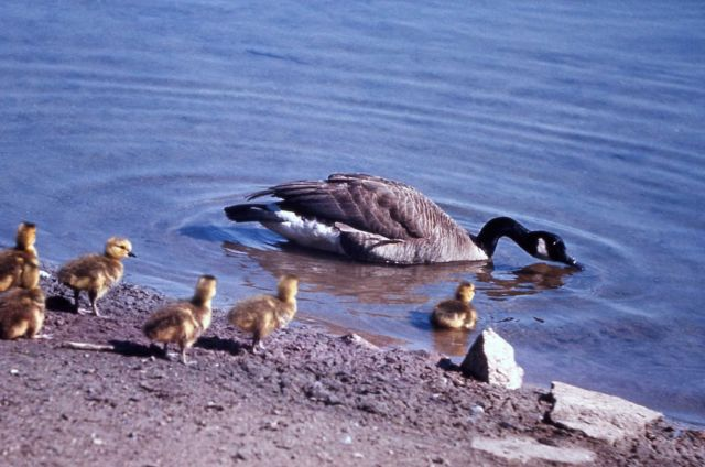 Adult canada goose with goslings Picture