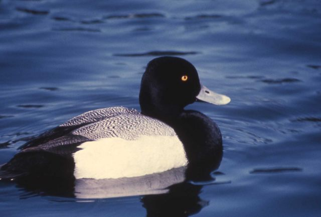 Lesser scaup drake Picture