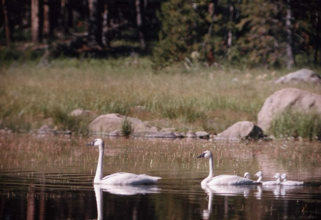 Trumpeter swan pair & four cygnets Picture