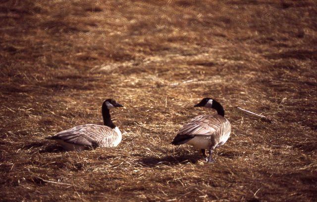 Canada goose pair Picture