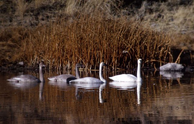 Trumpeter swan pair & two immatures Picture