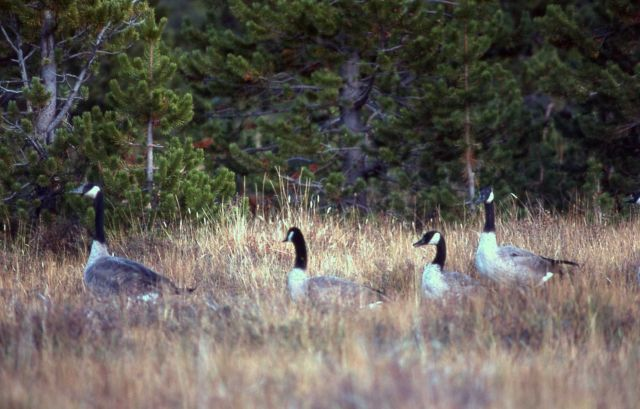 Four canada geese at forest edge Picture