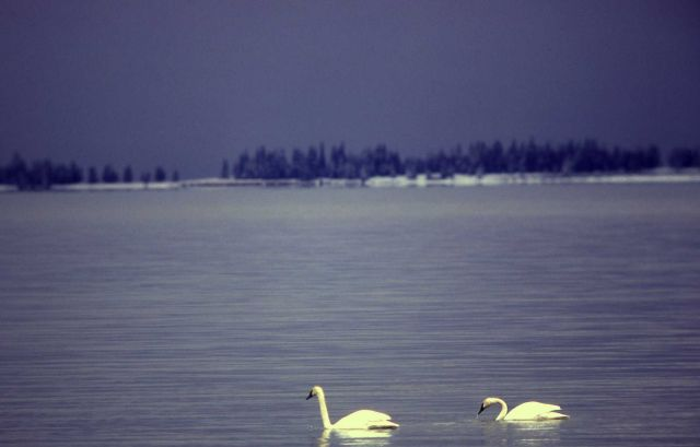 Trumpeter swan pair on Mary Bay Picture