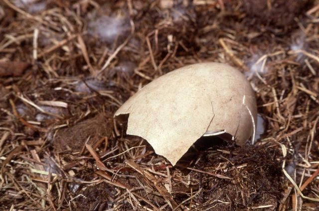 Trumpeter swan egg after hatching (Harlequin H) Picture
