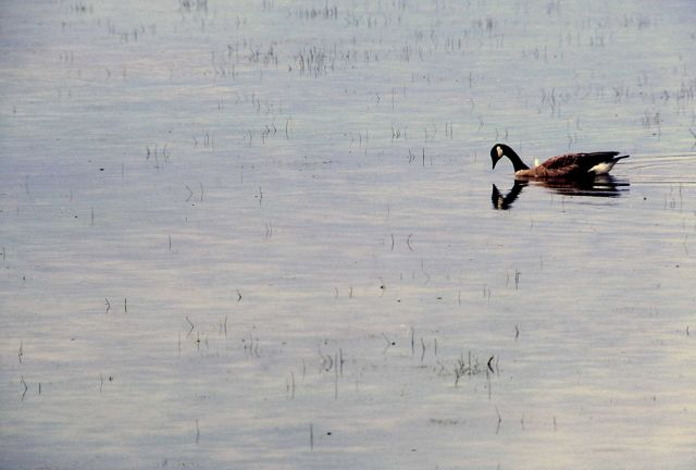 Canada goose on Alum Creek Picture