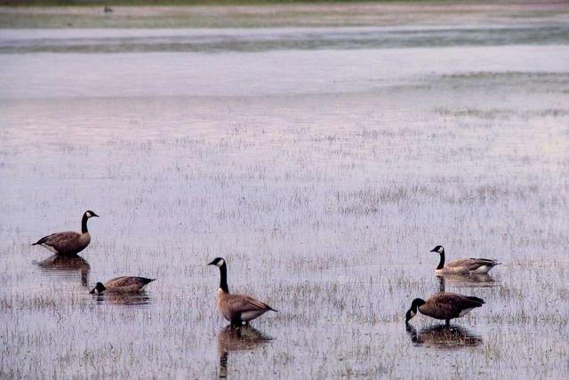 Five canada geese on Alum Creek Picture