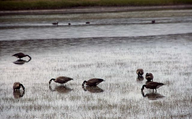 Canada geese on Alum Creek Picture