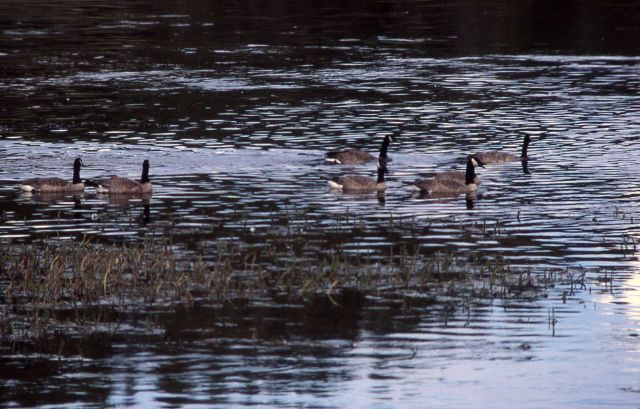 Six canada geese on Yellowstone River Picture