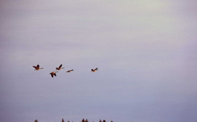 Five canada geese in flight over Fountain Flats Picture