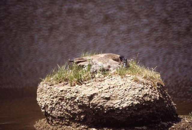 Canada goose on nest Picture