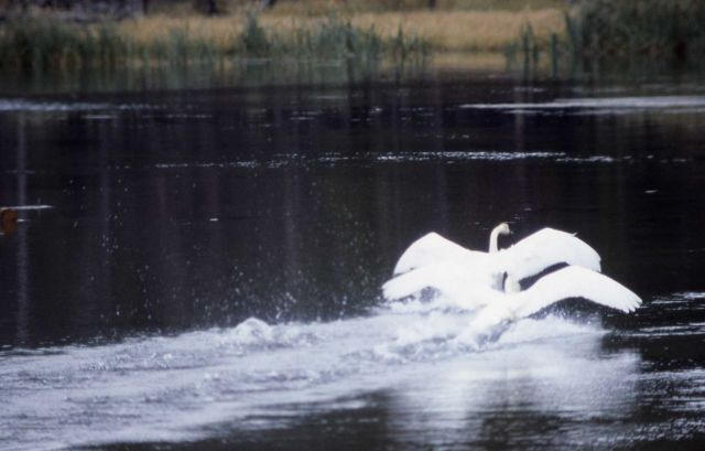 Trumpeter swan pair courtship behavior sequence Picture