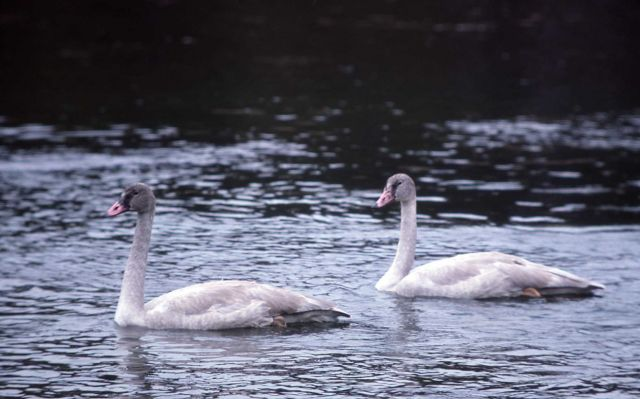 Trumpeter swan with two immatures Picture