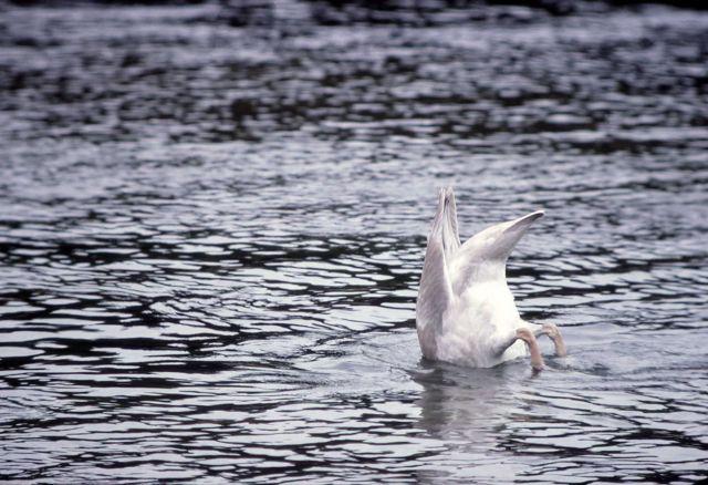 Trumpeter swan cygnet feeding Picture