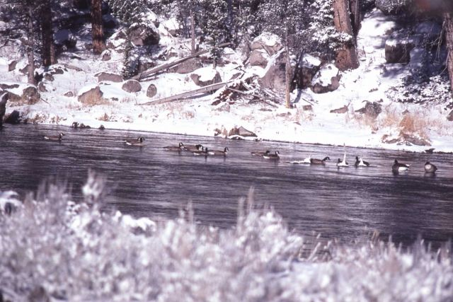 13 canada geese & three trumpeter swans on the Madison River in winter Picture