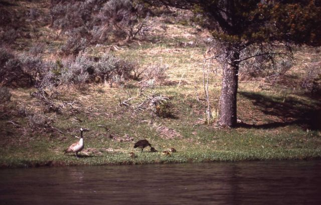 Canada goose pair & goslings on the Madison River Picture