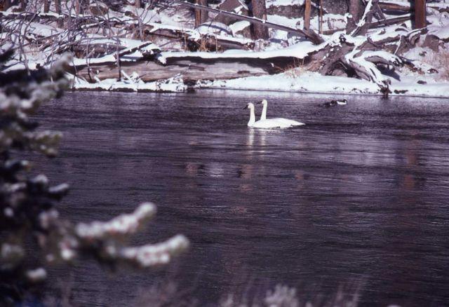 Trumpeter swan pair on pond below Mammoth Hot Springs in winter Picture
