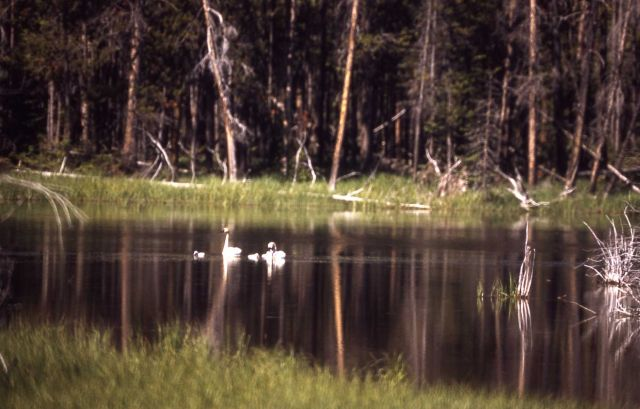 Trumpeter swan pair & two cygnets Picture