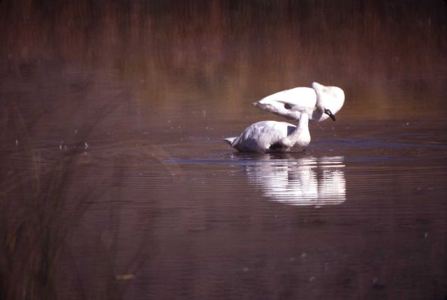 Trumpeter swan pair Picture