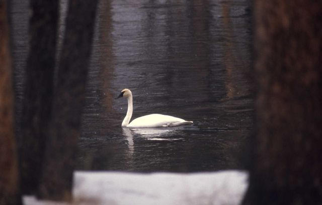 Trumpeter swan on Madison River Picture