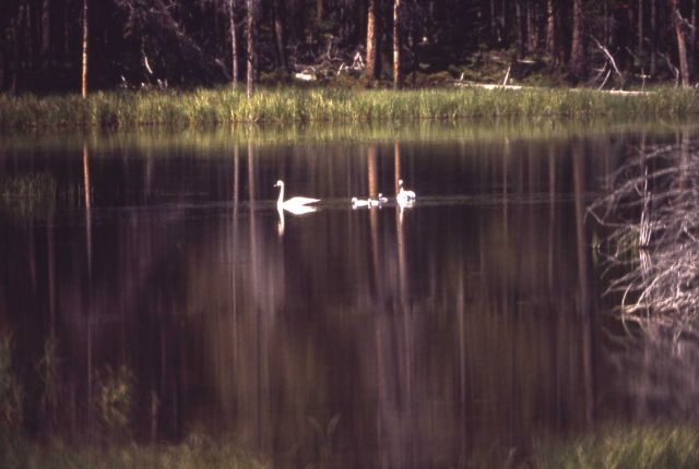 Trumpeter swan pair & cygnets on Madison River Picture