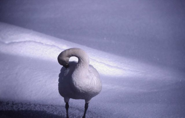 Tundra swan on the snow Picture