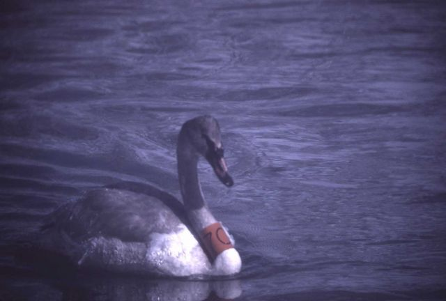 Trumpeter swan with orange neck band Picture