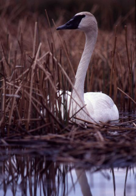 Female trumpeter swan on nest Picture