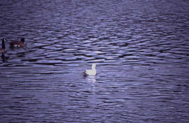 Ross's goose - rare Yellowstone National Park sighting Picture