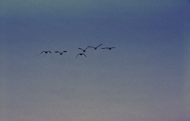 Six flying canada geese Picture