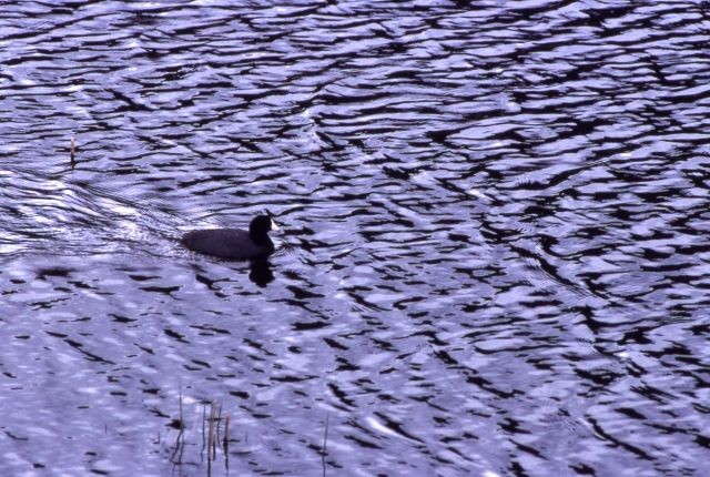 Coot on Floating Island Lake Picture