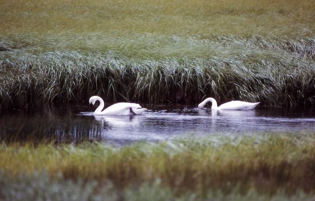 Trumpeter swans Picture