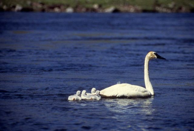 Trumpeter swan with cygnets Picture