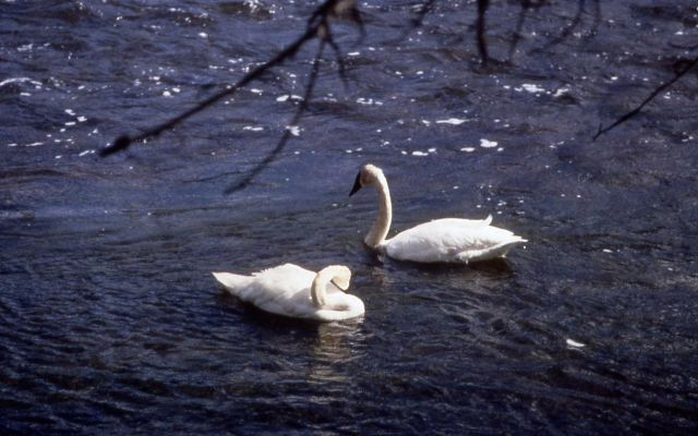 Trumpeter swans on Madison River Picture