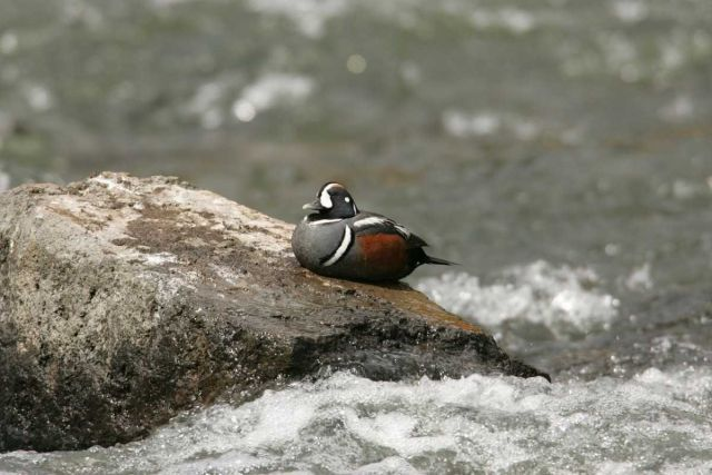 Male Harlequin Duck at LeHardy Rapids Picture