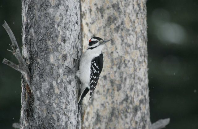 Hairy woodpecker near Silver Gate, MT Picture
