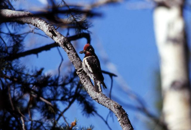 Male Yellow-bellied Sapsucker Picture