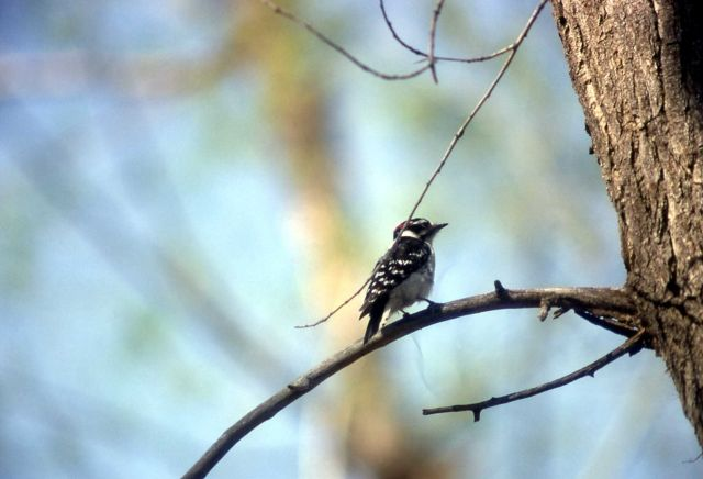 Female Downy Woodpecker Picture