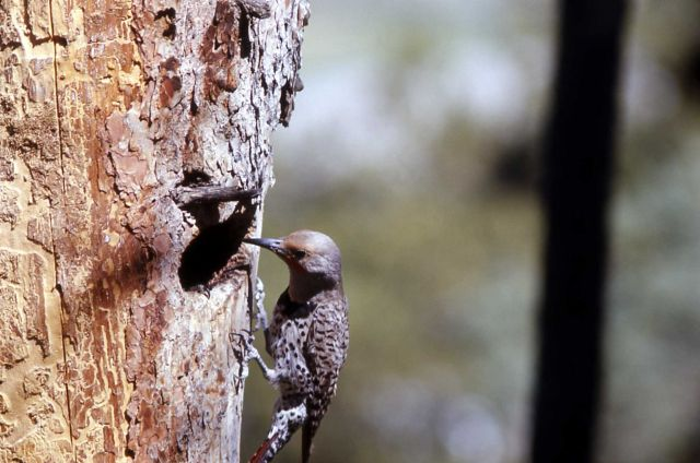 Female Shafted Flicker Picture