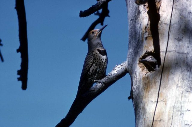 Male Shafted Flicker - Woodpeckers Picture