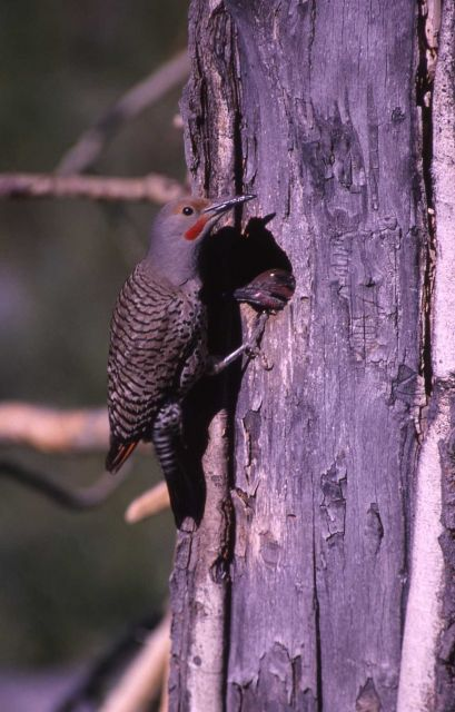 Female Shafted Flicker - Woodpeckers Picture