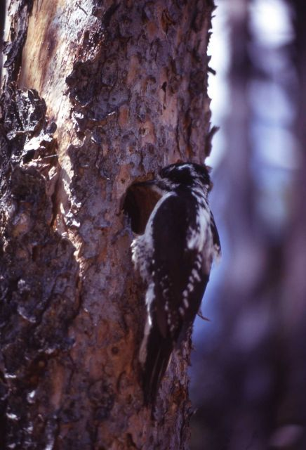 Male Northern Three-toed Woodpecker Picture