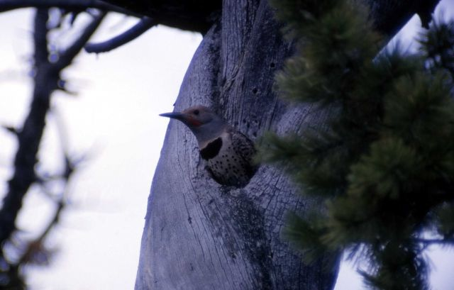 Female Red Shafted Flicker - Woodpeckers Picture