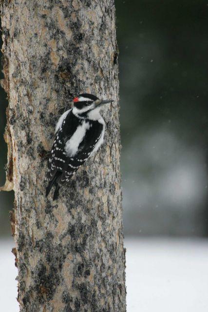 Hairy woodpecker near Silver Gate, MT Picture