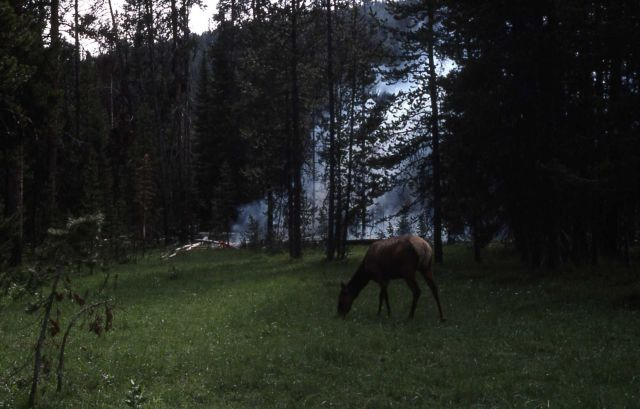 Elk grazing near fire at Grizzly Lake trailhead Picture